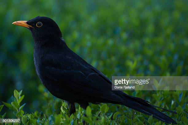 blackbird - dorte fjalland stock pictures, royalty-free photos & images
