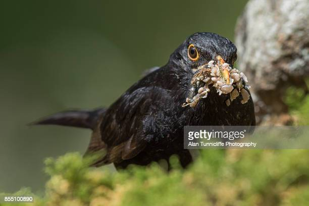 blackbird - snavel stockfoto's en -beelden
