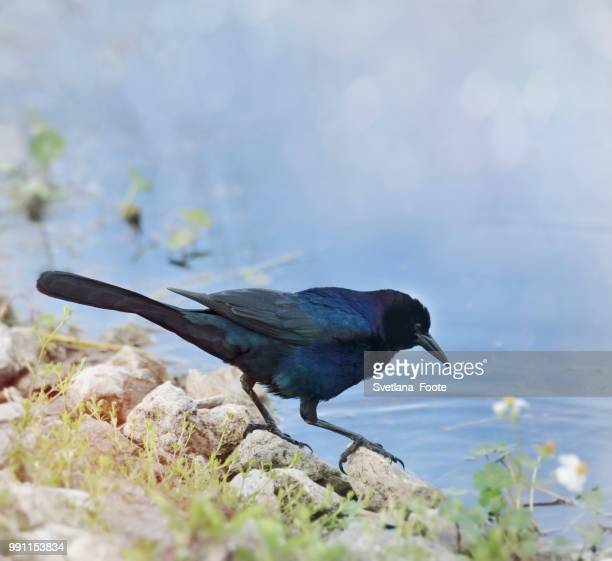 blackbird - svetlana stock photos and pictures