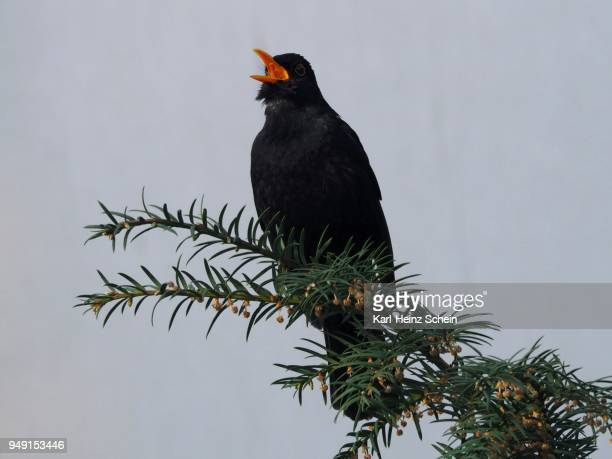 blackbird (turdus merula) sings with open beak on a branch, leoben, styria, austria - lijster stockfoto's en -beelden