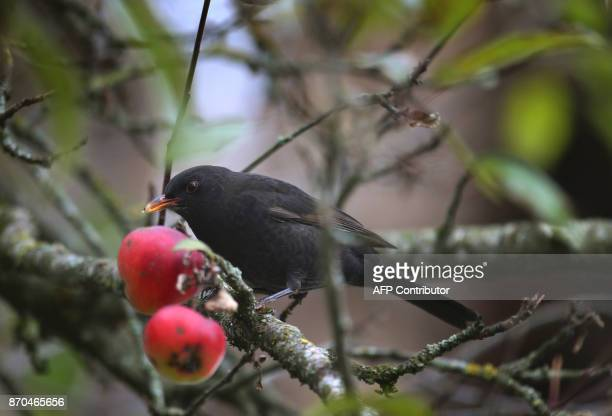 A blackbird sits in an apple tree on November 5 2017 in Kaufbeuren southern Germany / AFP PHOTO / dpa / KarlJosef Hildenbrand / Germany OUT