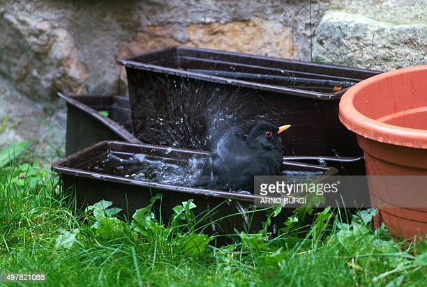 A blackbird takes a bath in a flowerbox filled with rainwater on November 19 2015 in a garden in Dresden eastern Germany AFP PHOTO / DPA / ARNO BURGI...