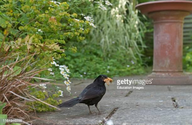 Blackbird Turdus merula collecting mealworms for nestlings in garden Norfolk