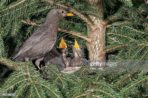 Blackbird -Turdus merula-, female perched on nest with nestlings, Untergroningen, Abtsgmuend, Baden-Wurttemberg, Germany