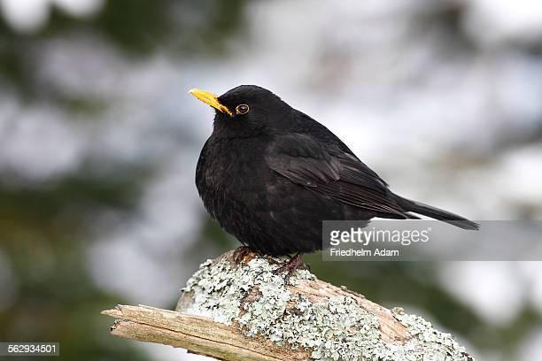 Blackbird -Turdus merula- male on a lichen-covered branch in winter