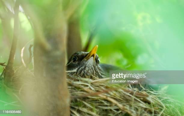 Blackbird, Turdus merula, on nest in garden Norfolk April.