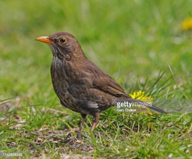 blackbird [turdus merula] - female animal stock pictures, royalty-free photos & images