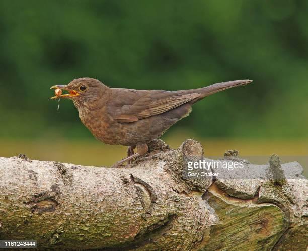 blackbird [turdus merula] - peanut food stock pictures, royalty-free photos & images