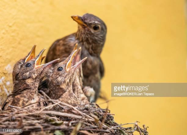 blackbird (turdus merula) with begging chicks in nest, north rhine-westphalia, germany - tordo bottaccio foto e immagini stock
