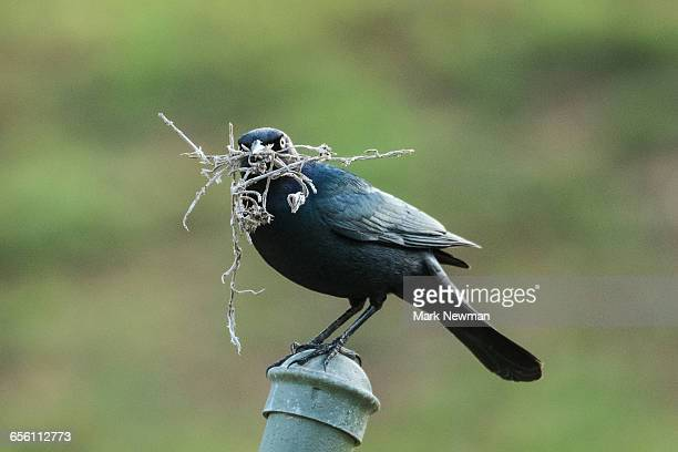 blackbird with nesting material - merel stockfoto's en -beelden