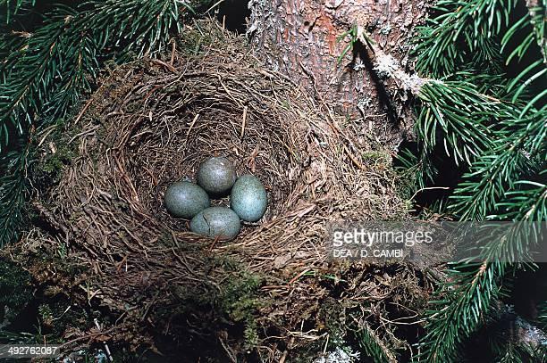 Blackbird's nest with eggs , Turdidae.