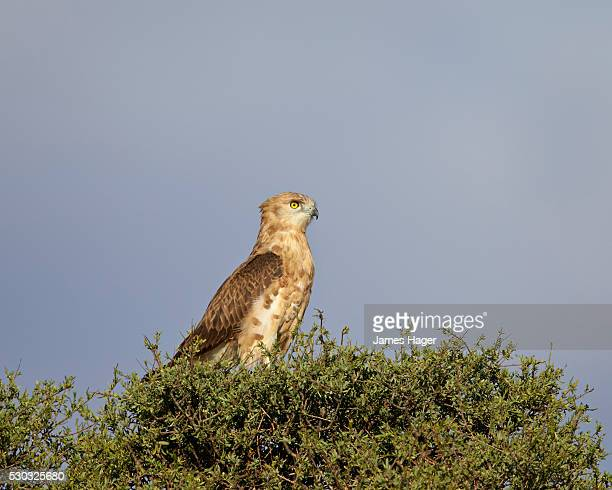black-breasted snake eagle or black-chested snake eagle (circaetus pectoralis), immature, kgalagadi transfrontier park (encompasing the former kalahari gemsbok national park), south africa - perching stock pictures, royalty-free photos & images