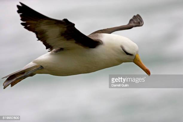 black-browded albatross in flight in the falkland islands - albatros stock-fotos und bilder
