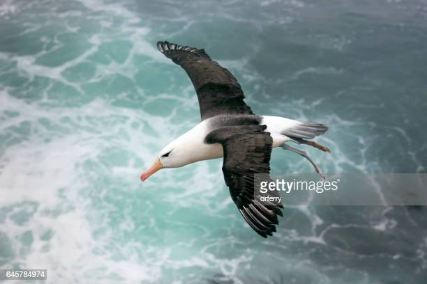 Black-browed Albatross Above the Sea on the Falkland Islands
