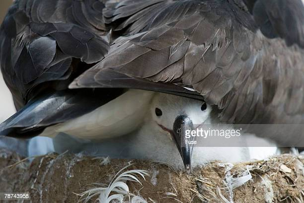 Black-browed Albatross Chick Peeking Out