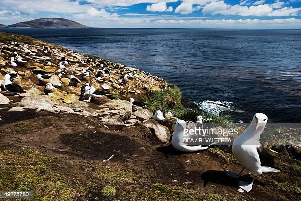 Blackbrowed albatross colony Diomedeidae The Rookery north coast of Saunders Island Falkland or Malvinas Islands