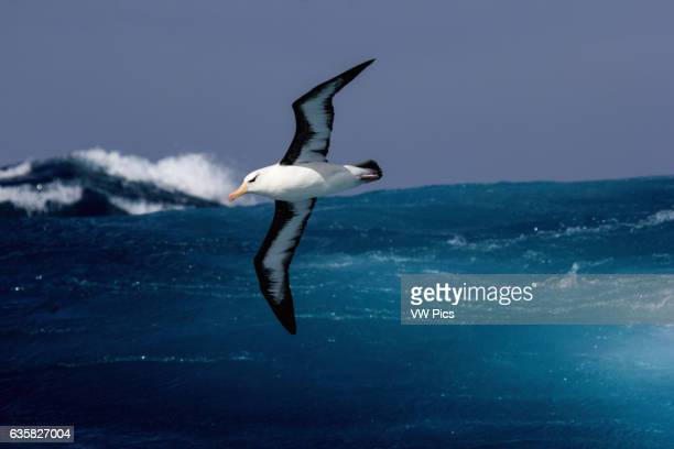 A Blackbrowed Albatross in flight over the southern Indian Ocean