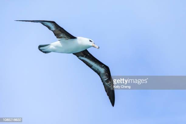 black-browed albatross in flight - straat drake stockfoto's en -beelden