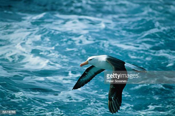 Black-browed albatross (Diomedea melanophris) in flight, side view