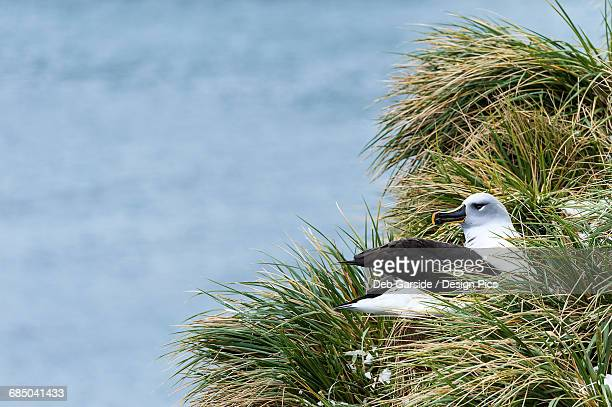 Black-browed albatross (Thalassarche melanophris) nesting