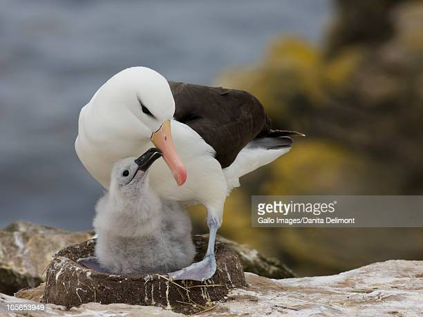 Black-browed Albatross (Thalassarche melanophrys) on nest with chick, Falkland Islands