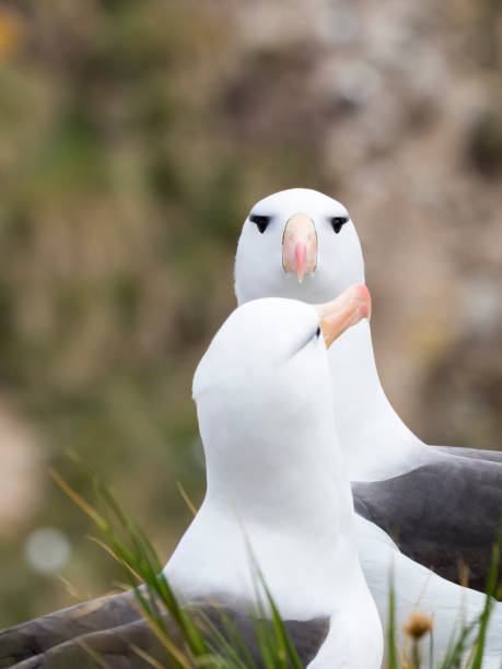 Black-browed albatross or black-browed mollymawk (Thalassarche melanophris)