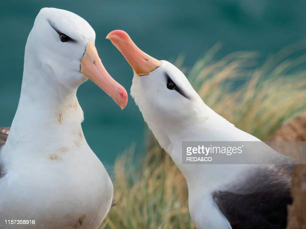 Blackbrowed albatross or blackbrowed mollymawk typical courtship and greeting behaviour South America Falkland Islands January
