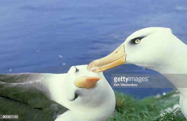 black-browed albatross or mollymawk,diomedea melanophris,campbell is, nz