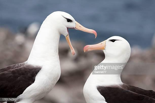 Black-Browed Albatross Pair, Falkland Islands