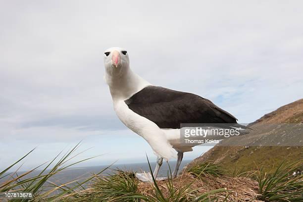 Black-Browed Albatross (Thalassarche melanorphris)