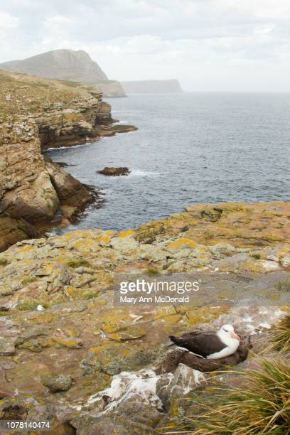 black-browed albatross, - rookery stock pictures, royalty-free photos & images
