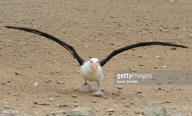 black-browed albatross (thalassarche melanophris) taking off, falkland islands - albatros stock-fotos und bilder