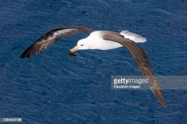 Black-browed Albatross, Thalassarche melanophris, immature carrying a squid Southern Ocean nr South Georgia.