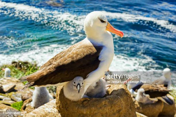 black-browed albatross (thalassarche melanophris), the rookery - rookery stock pictures, royalty-free photos & images