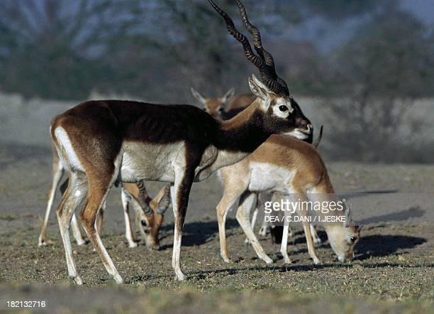 Blackbuck Bovids Thar Desert State of Rajasthan India