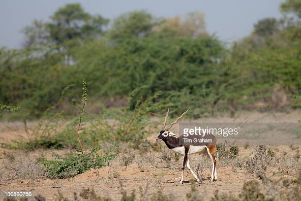 Blackbuck male antelope Antilope cervicapra near Rohet in Rajasthan North West India