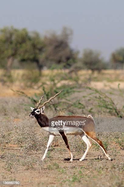 Blackbuck male antelope Antilope cervicapra near Rohet in Rajasthan North West India