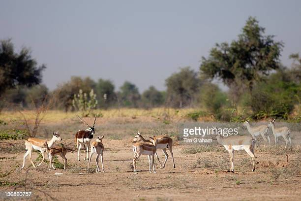 Blackbuck male antelope Antilope cervicapra with female hinds near Rohet in Rajasthan North West India