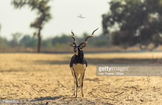 blackbuck - springbok deer stock photos and pictures