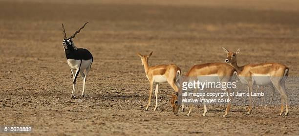 Blackbuck struts his stuff. India