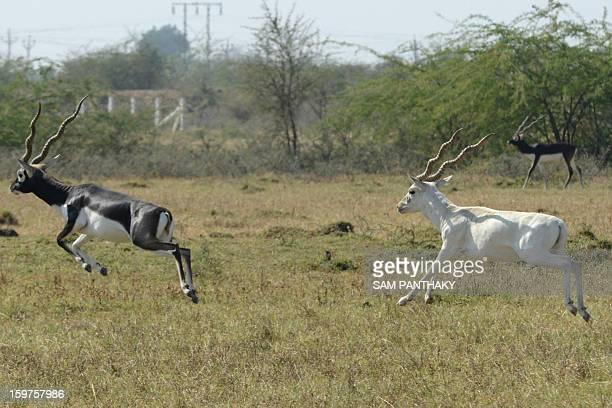 Blackbucks roam a field near Medha village of Kadi Taluka some 35 kms from Ahmedabad on January 19 2013 Blackbucks listed as 'endangered' in the...