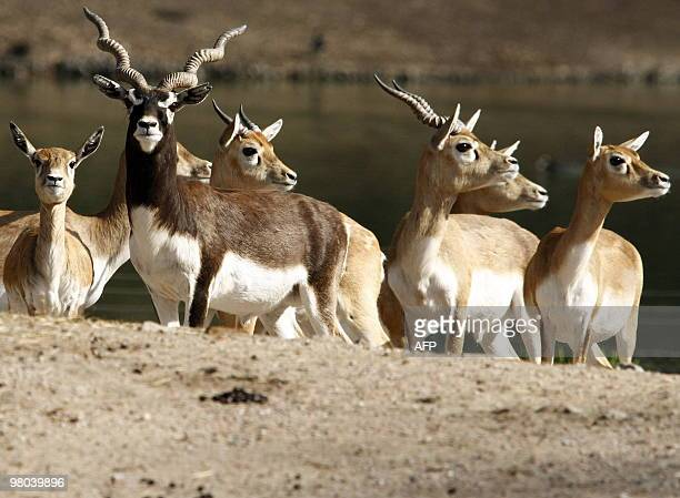 Blackbucks stand in their enclosure at an animal park in Hamburg northern Germany on March 25 2010 All the animals of the park are measured weighed...