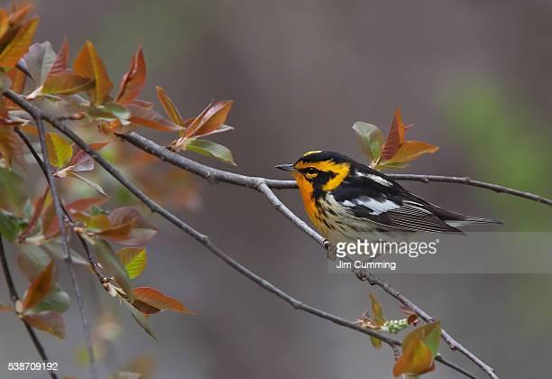 blackburnian warbler - warbler stock pictures, royalty-free photos & images