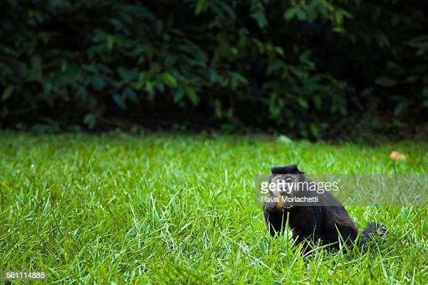 Black-capped capuchin monkey eating a cracker