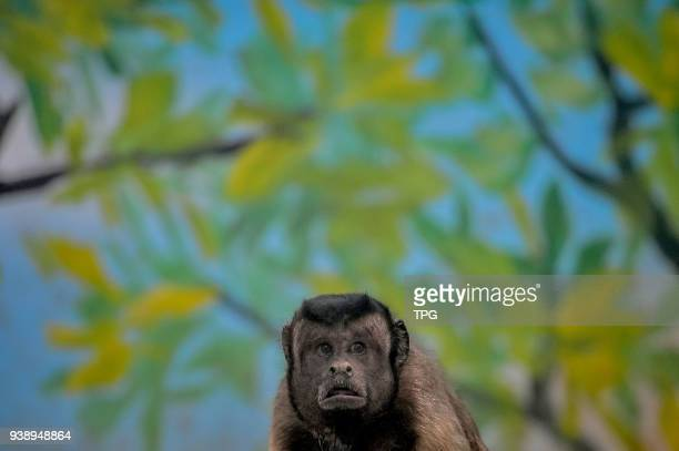Blackcapped Capuchins which has a square human face attracts many tourists on 27 March 2018 in Tianjin China