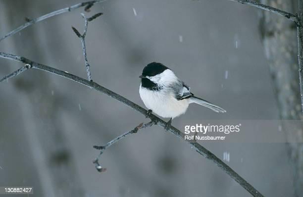 black-capped chickadee (poecile atricapillus), adult, homer, alaska, usa - home run ストックフォトと画像