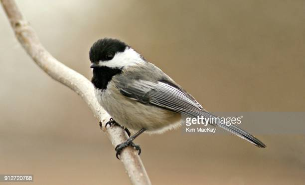 Black-Capped Chickadee, close up on branch, blurred background