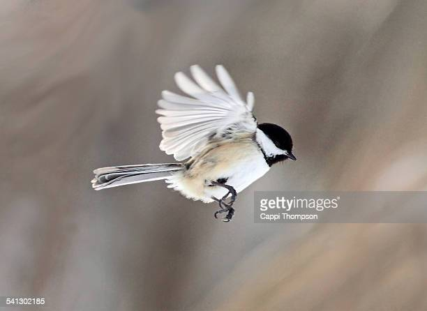 a black-capped chickadee (parus atricapillus) i - cappi thompson stock pictures, royalty-free photos & images