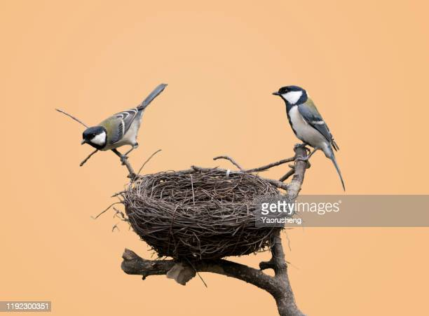 black-capped chickadee in it's nest, close up - snavel stockfoto's en -beelden