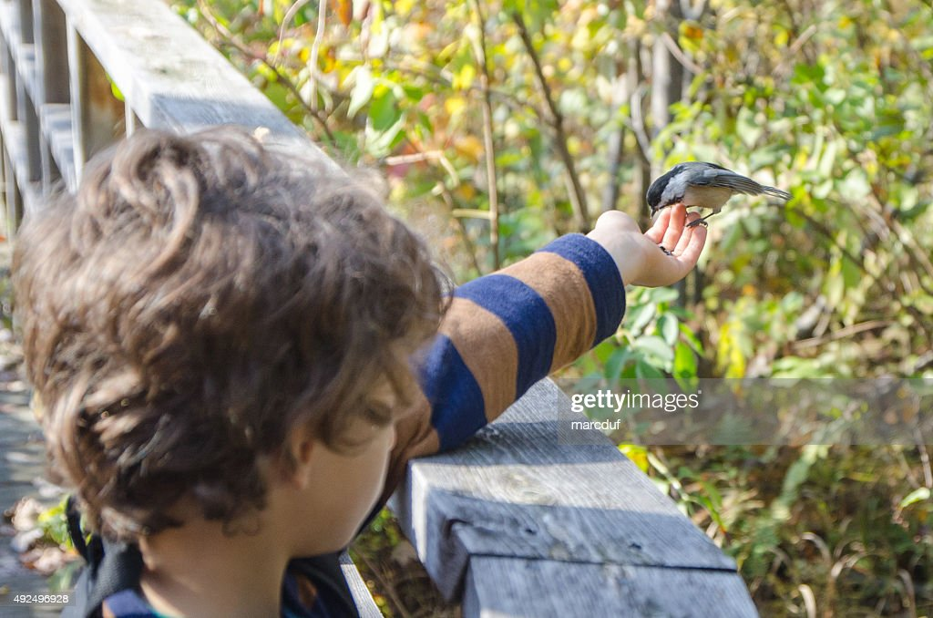 Black-capped Chickadee in little boy's hand : Stock Photo